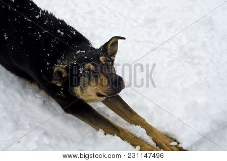 A Funny Dog Stretches In The Snow, Puts His Paws Forward And Everything In The Snow.
