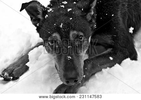 A Funny Dog In The Snow, Puts His Paws Forward And Everything In The Snow Closeup
