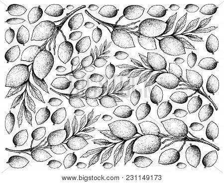 Tropical Fruit, Illustration Wall-paper Background Of Hand Drawn Sketch Of Fresh Elaeocarpus Hygroph