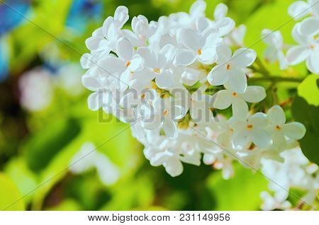Summer Background With Blooming Summer Lilac Flowers. Blooming Lilac Flowers Lit By Summer Sunlight.