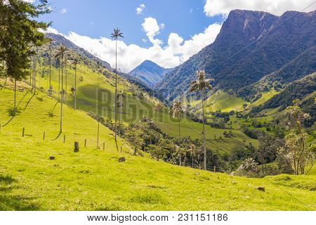 Wax Palms In The Cocora Valley Of Salento Colombia