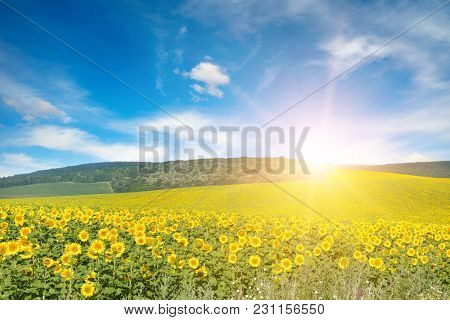 Bright sun above sunflower field. Copy space