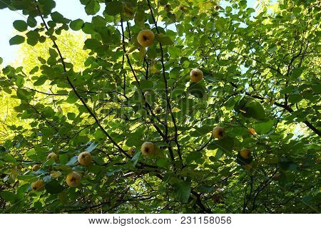Ripe Fruits On The Branches Of Quince Tree