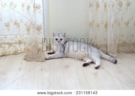 White Scottish Pristine Purebred Cat Lying On The Floor In The Room