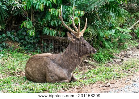 Sambar Deer Relaxing On The Lawn. Sambar Is A Large Deer Living In The Indian Subcontinent, Southern