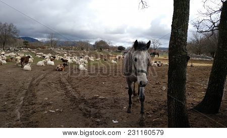 Horse Next To A Flock Of Sheep
