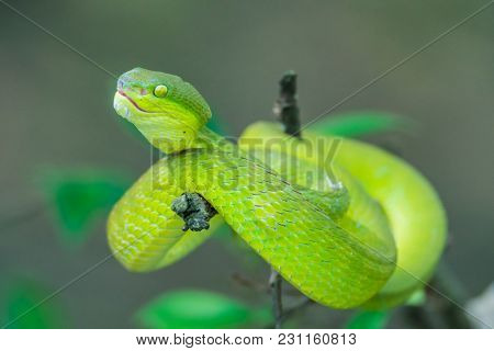 Close Up - A Venomous Chinese Green Tree Viper Or Bamboo Viper Lies On A Tree Branch.