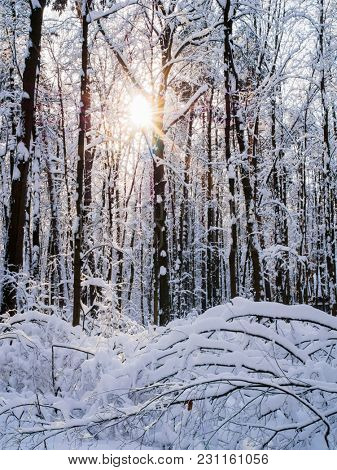 Picture of snowy trees with shining sun in forest