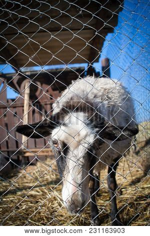 Romanov Sheep Breed In A Pen At The Home Farm In Australia