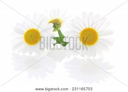 Lovely Daisies (marguerite) Isolated On White Background, Including Clipping Path Without Reflection
