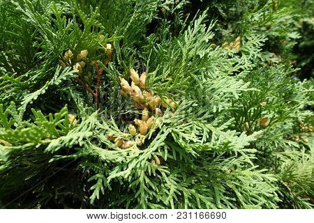 Spray Of Thuja Occidentalis With Seed Cones