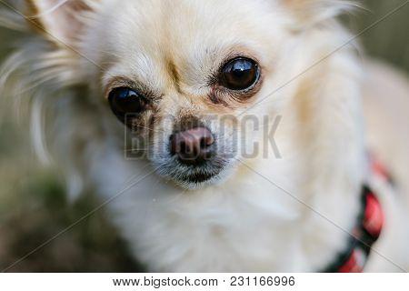 Portrait Of Cute Small Dog Chihuahua