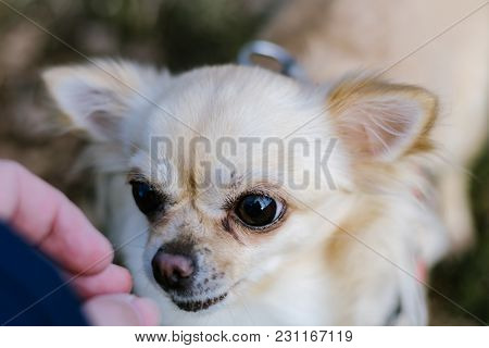 Portrait Of Cute Small Dog Chihuahua, Getting Reward From Hand