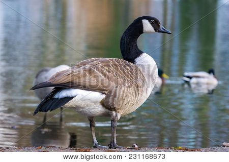 Close-up Of A Beautiful Standing Canada Goose (branta Canadensis) At The Shore In Spring. View To A
