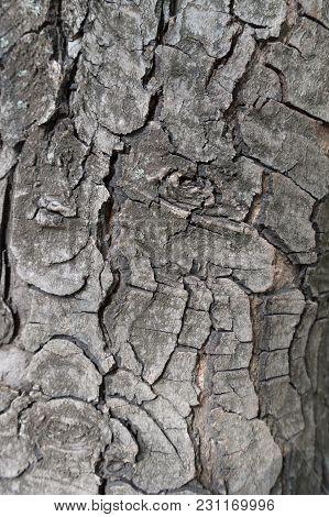 Texture Of Bark Of Horse Chestnut Tree