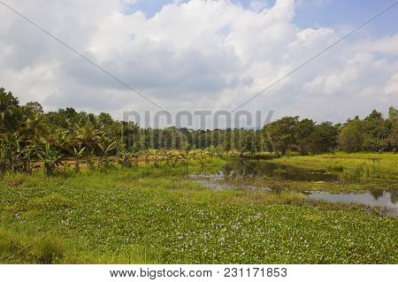 Exotic Forest Near Rice Paddies And Lake With Lotus And Water Hyacinth In The Sri Lankan National Pa