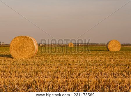 Expanse Of Hay Cylindrical Bales In A Farmland At Sunset / Cylindrical Bales Of Hay Called Round Bal