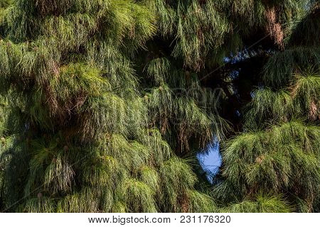 Thick Branches Of Coniferous Tree. A Close View Of The Coniferous Trees Against The Sky. Valencia, S