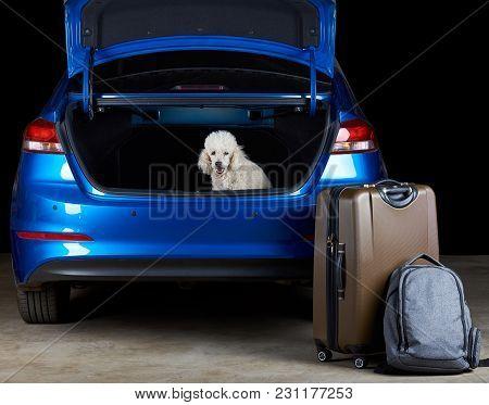 White Poodle Dog Sitting In Trunk Of Modern Blue Sedan Car