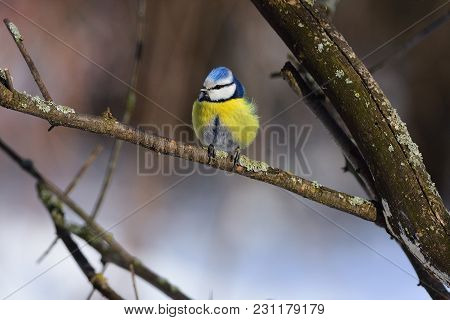 A Small Fluffy Eurasian Blue Tit (cyanistes Caeruleus) Sits On A Lichen-covered Branch.