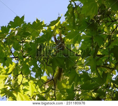 A Squirrel On The Branches Of A Maple. The Squirrel Is A Forest Rodent.