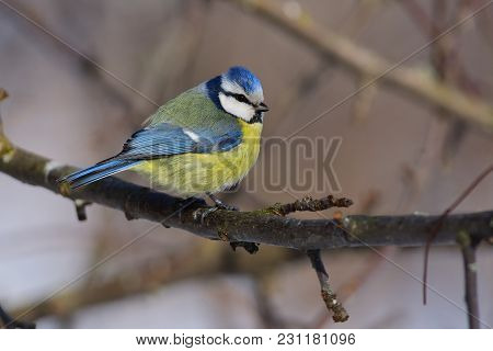 Ruffled Eurasian Blue Tit (cyanistes Caeruleus) Sits On A Branch Of An Apple Tree (sun Reflect In Ey