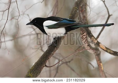 The Eurasian Magpie Or Common Magpie (pica Pica) Blinked, Looking At The Photographer (on A Soft For