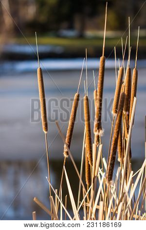 Frozen Reed Plant In The Winter, Lake In The Background.
