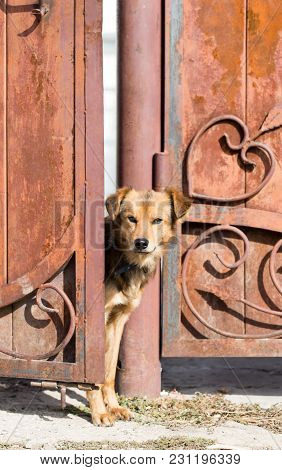 Dog Peeking Out Of The Gate . In The Park In Nature