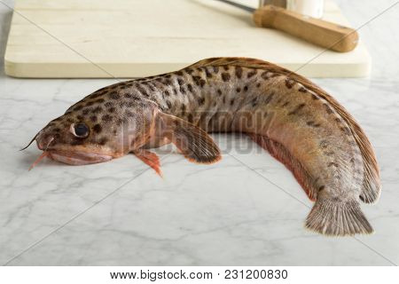 Single fresh raw spotted wolffish