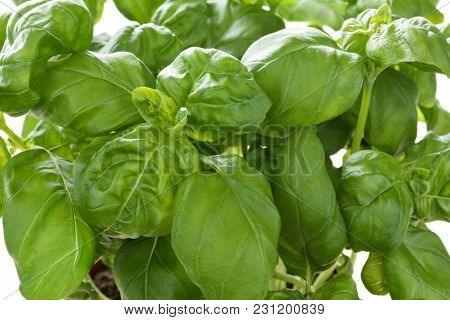Fresh green basil leaves close up
