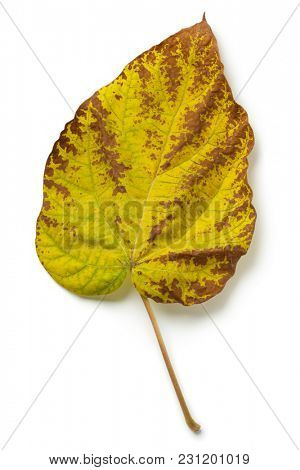 Autumn leaf of a  largeleaf linden tree on white background