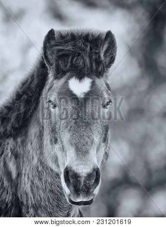 Arabian Gelding With Heart Shaped Star On The Head. Black And White Photo