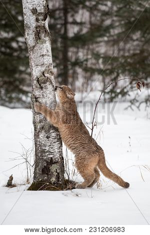 Female Cougar (puma Concolor) Claws At Tree - Captive Animal