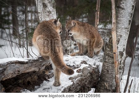 Two Female Cougars (puma Concolor) On Log - Captive Animals