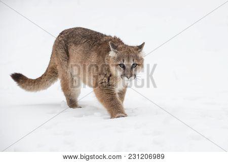 Female Cougar (puma Concolor) Walks Forward - Captive Animal