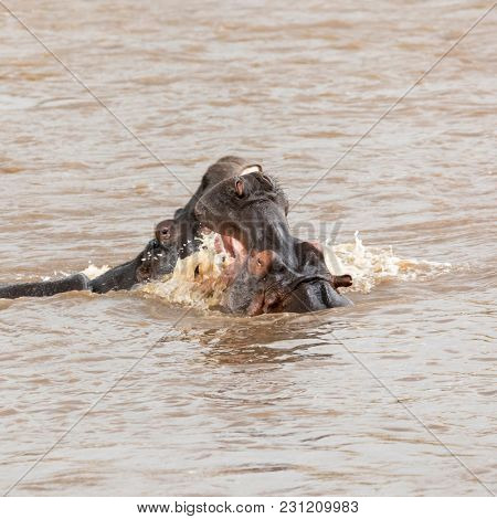 A pair of young adult hippos fighting in the Mara river, in the Masai Mara, Kenya.