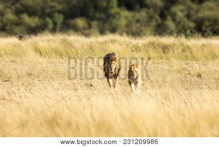 A pair of adult lions walking across the grassland of the Masia Mara