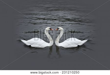 Romantic white swan couple in black water