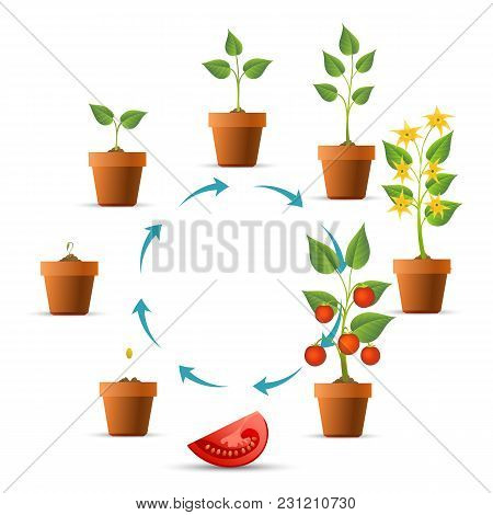 Plant Growth Stages. Tomato Growing Circle, Seeds And Sprout, Branch Leaves And Tomatoes Phases Vect