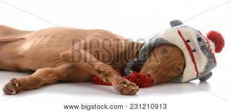 male pharoah hound wearing winter hat on white background