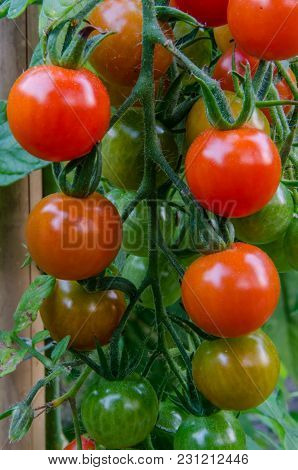 Cherry Tomatoes Ripen On The Vine In Home Garden