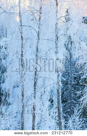Birch Trees Covered In Frost Snow Winter