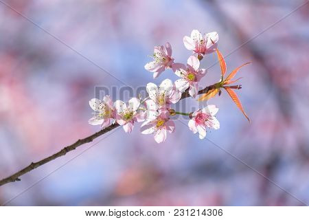 Close Up Cherry Blossom With Soft Background
