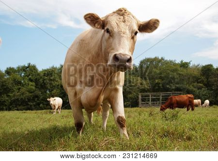 A Creamy Colored Dairy Cow Walking Towards You In A Sunlit Grassy Meadow While More Cows Meander And