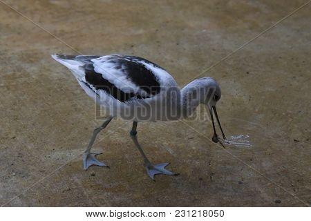 American Avocet Recurvirostra Americana Wading In Water And Searching For Food
