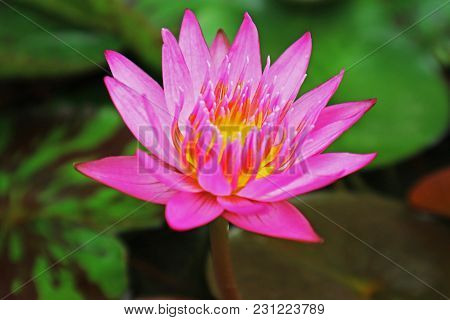 Pink Water Lilly (pink Lotus Flower) In The Pond