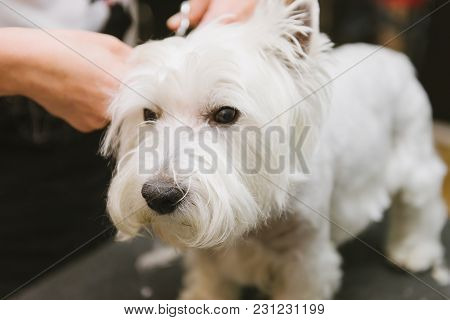 Professional Combing Dog West Highland White Terrier In The Grooming Salon. Preparing The Dog For Th