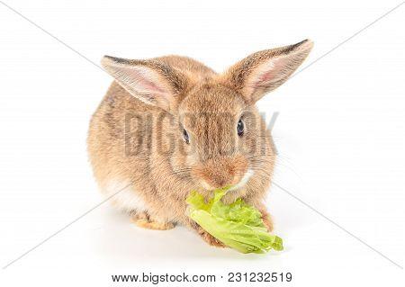 Brown Short Hair Adorable Baby Rabbit Eating Vegetable On White Background