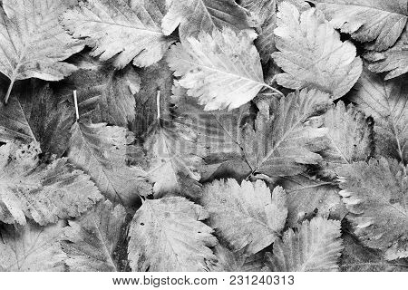 Background Of Black And White Hawthorn Leaves